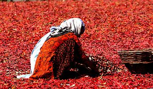 Zbiór czerwonego chili w Kaszmirze