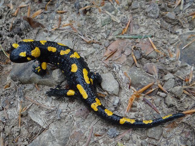 Salamandra plamista żyje głównie w górach