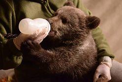 Mała niedźwiedzica z poznańskiego zoo pokaże się publiczności