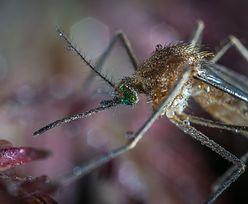 Komary. Jak się ich pozbyć? I co zrobić, by nie gryzły? Porady