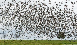 Pospolite ptaki przestają być pospolite. Populacje niektórych z nich skurczyły się dwukrotnie