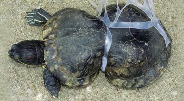 Zdeformowany żółw. Ofiara pływających w wodzie śmieci