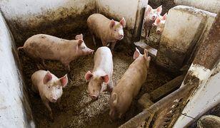 71-letni hodowca trzody chlewnej został zjedzony przez świnie (zdj. ilustr.)