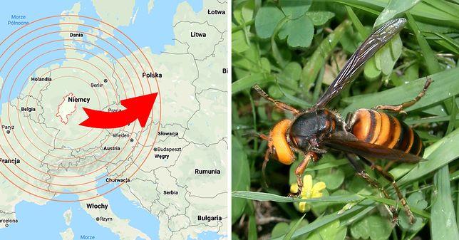 Gatunek niezwykle agresywnego owada jest zaledwie kilkaset kilometrów od polskich granic