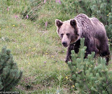 Niedźwiedź w Tatrach