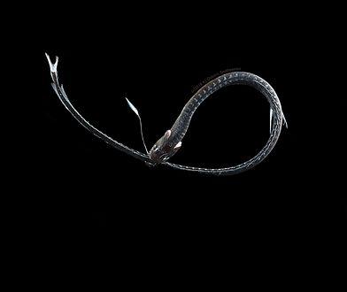 Ultraczarna ryba żyje w głębinach oceanu. Kamuflaż pomaga jej przetrwać