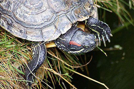 Krew żółwia wydłuży nam życie do 100 lat?