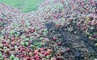 Góra jabłek wylądowała na polu. Sadownik się poddał