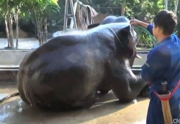 Słoń wszedł na minę w Tajlandii. Pięć dni marszu do specjalistów