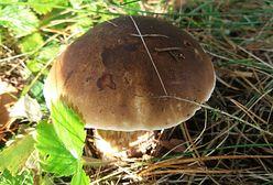 Mapa grzybów na Pomorzu. Słychać głośny lament grzybiarzy