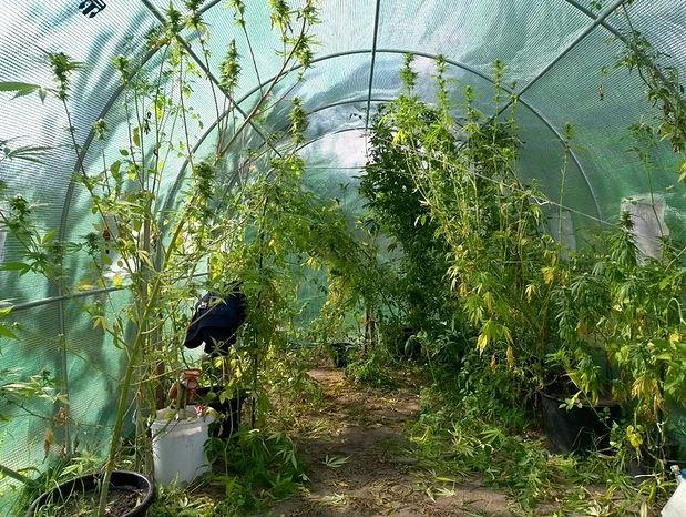 Marihuana między pomidorami. Nietypowa uprawa w Lesznie  (fot. Policja Leszno)
