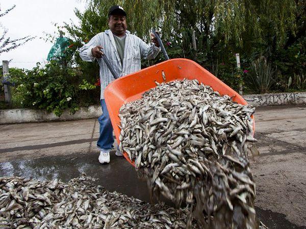 Tysiące ryb zginęły w niewyjaśnionych okolicznościach