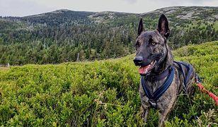 Zaginął pies, który ratował ludzi. GOPR prosi o pomoc w poszukiwaniach