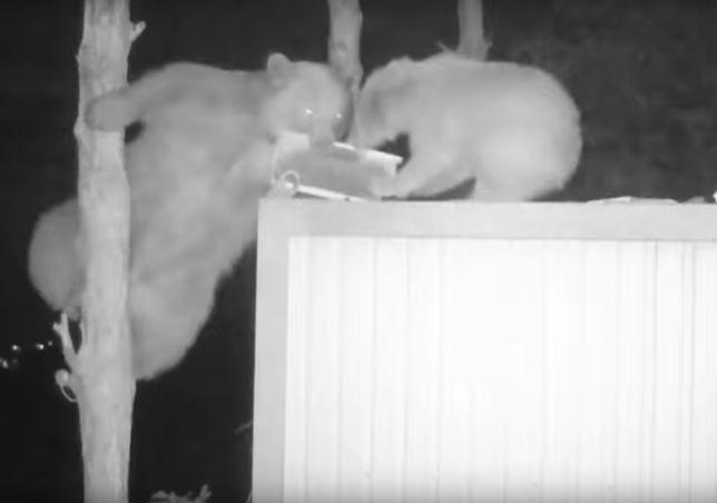 Niedźwiedzie bardzo sprawnie dostawały się do miodu tureckiego pszczelarza