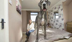 Oto Freddie największy pies w Wielkiej Brytanii. Był... najsłabszym i najmniejszym psem w miocie