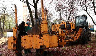 Sosnowiec. Miasto ratuje stare drzewa