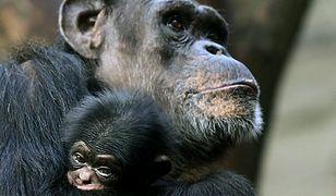 Frodo - najmłodszy warszawski szympans