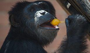 Szympans w sądzie - niezwykły proces w USA