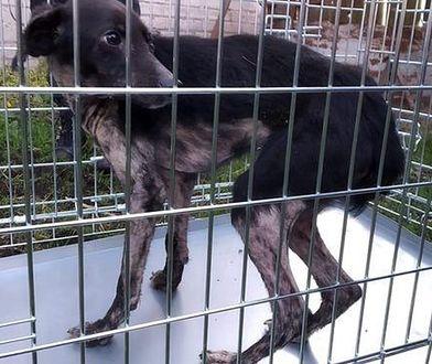 Wychudzony pies z gospodarstwa, które badali inspektorzy TOZ