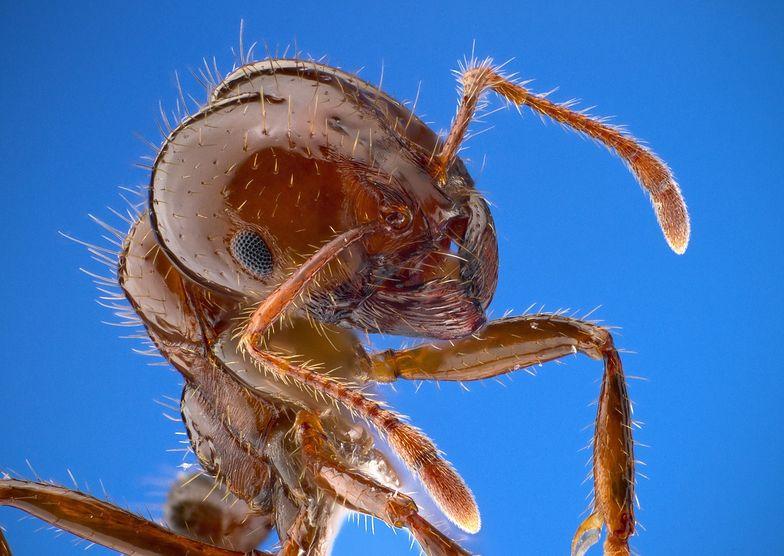 Mrówki ogniste zszokowały naukowców. Robią coś, czego nie robiły wcześniej