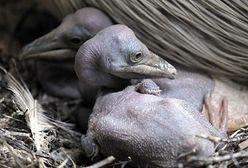 Narodziny pelikanów
