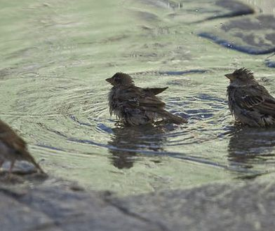 Ptaki wyczuwają prędkość samochodów