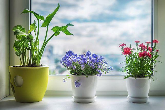 Kwiaty doniczkowe - pielęgnacja