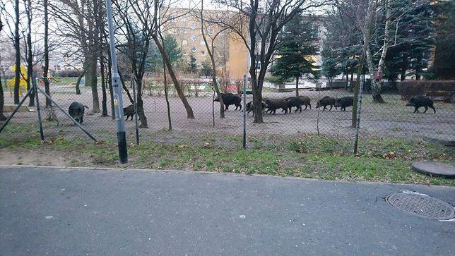 Poznań. Dziki na osiedlu
