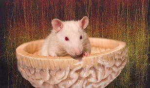 Szczur sterowany człowiekiem. To nie fantazja, to rzeczywistość