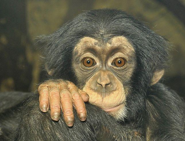 Szympans Tytus obchodzi pierwsze urodziny!