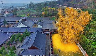 Złote liście miłorzębu tworzą spektakularne widowisko