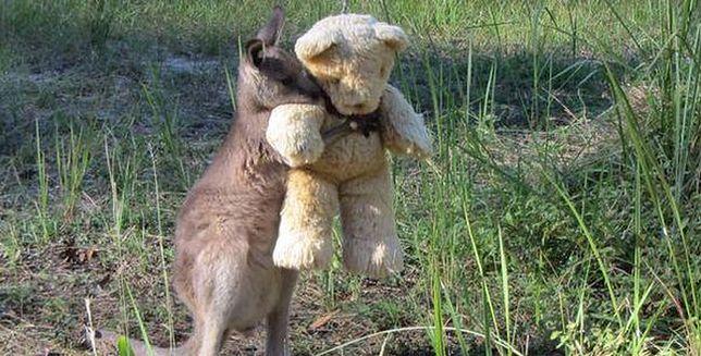 Zdjęcie kangurka z misiem podbija internet