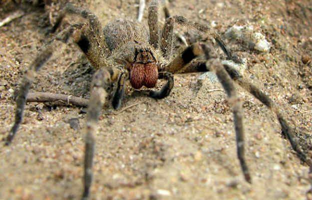 Wałęsak brazylijski jest wpisany do Księgi Rekordów Guinessa jako najbardziej jadowity pająk na świecie