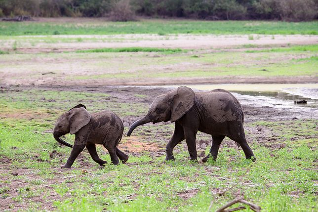 Bliźniacze słoniątka to prawdziwa rzadkość w świecie przyrody - zdjęcie ilustracyjne