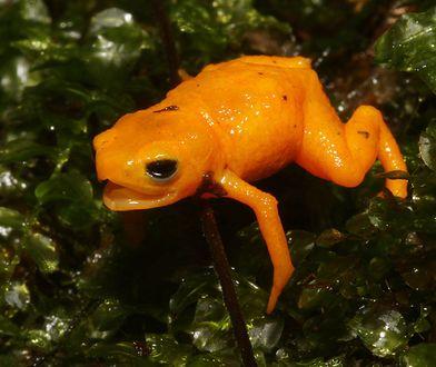 Naukowcy nie wierzyli własnym oczom. Kości tej żaby świecą