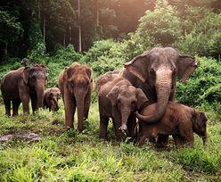 1000 tajskich słoni może zginąć z powodu pandemii koronawirusa