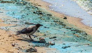 Nieprzyjemny zapach wody oraz formujące na powierzchni wody gęste kożuchy sinicowe to znak, że morze zostało opanowane przez sinice