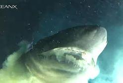 Rekin większy niż łódź podwodna. Próbował zjeść broń naukowców