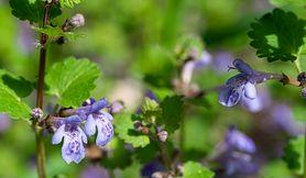Bluszczyk kurdybanek – co to jest, właściwości lecznicze
