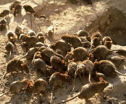 Nietypowe zachowanie szczurów. Stały się agresywne, mogą nawet atakować ludzi