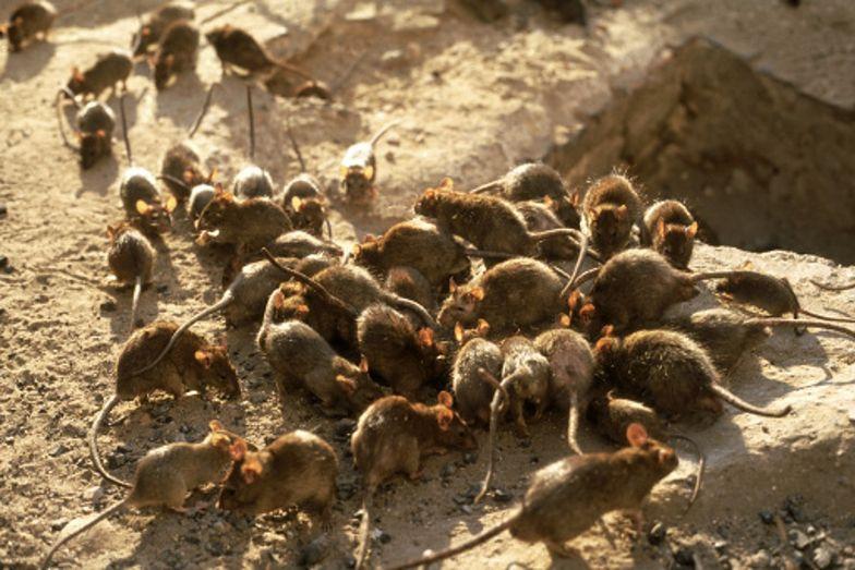 Z powodu braku pożywienia wśród szczurów pojawiło się zjawisko kanibalizmu