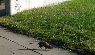 Warszawa. Szczury spędzają sen z powiek mieszkańcom