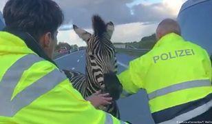 Zebra wtargnęła na autostradę A20 niedaleko granicy z Polską