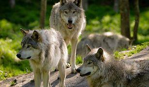 Warszawiacy zawyją dla wilka. 9 edycja Godziny dla Ziemi WWF
