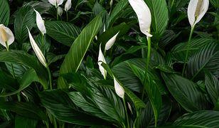 Rośliny oczyszczające powietrze. Poleca je NASA