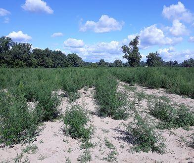 Plantacja marihuany obejmowała obszar 4 hektarów