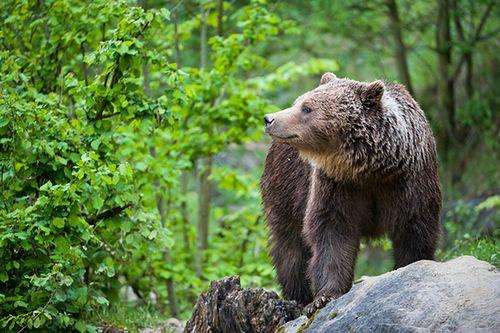 Niedźwiedzie brunatne z Puszczy Białowieskiej zostały wybite dokładnie 140 lat temu, ale jest szansa, że powrócą