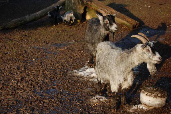 Antynobel dla naukowca żyjącego wśród kóz