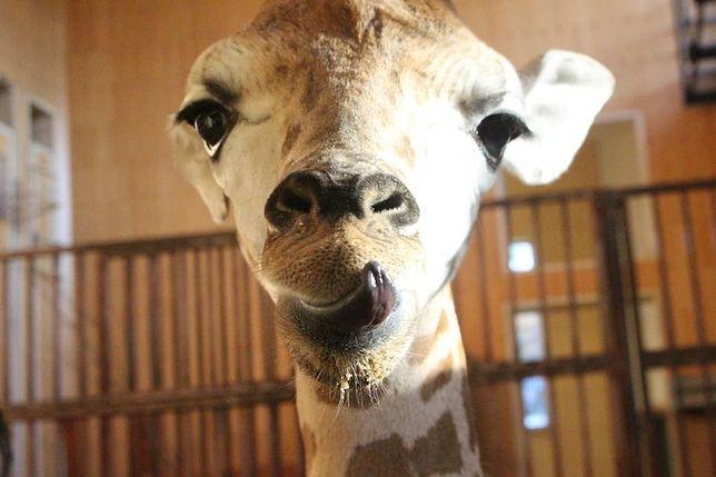 """Żyrafek - celebryta dostał imię! Dostojne i """"wysokie"""""""