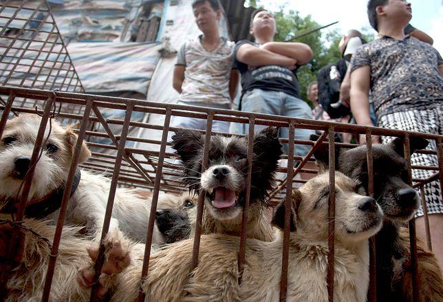 Wedle szacunków organizacji zajmującej się prawami zwierząt, aż 70 proc. zwierząt idących pod nóż w Yulin może pochodzić z kradzieży